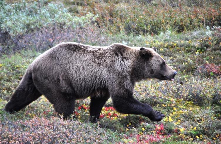 25 Bär in Denali
