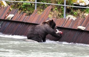 34 Bär frisst Lachs