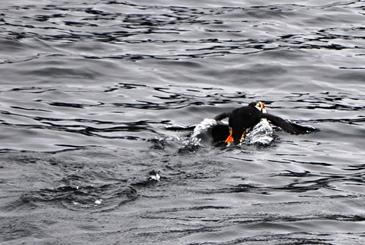 40 Papageientaucher beim Fischen