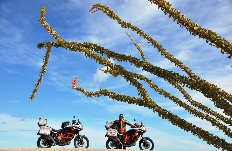 Wächst und blüht auch nach Jahren ohne Wasser: der Cirio-Baum   The cirio tree continues to grow and flower, even after years without water