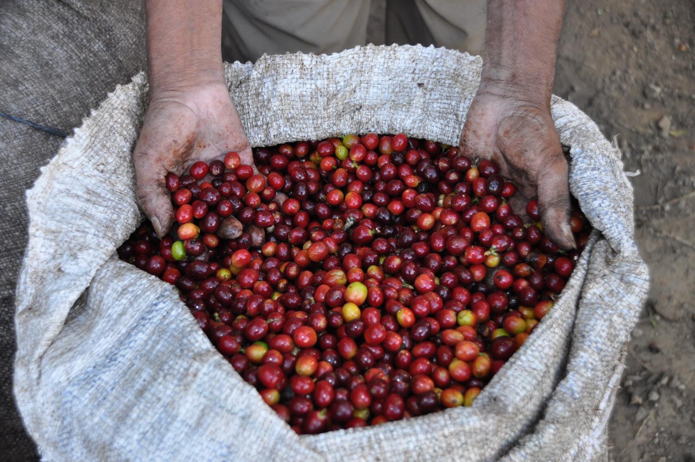 Frisch geerntete Kaffeebohnen | Freshly harvested coffee beans