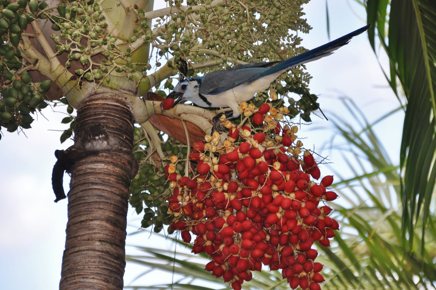 Ein Vogel lässt sich die Früchte der Weihnachtspalme schmecken | A bird helps itself to the fruit of the Christmas palm tree