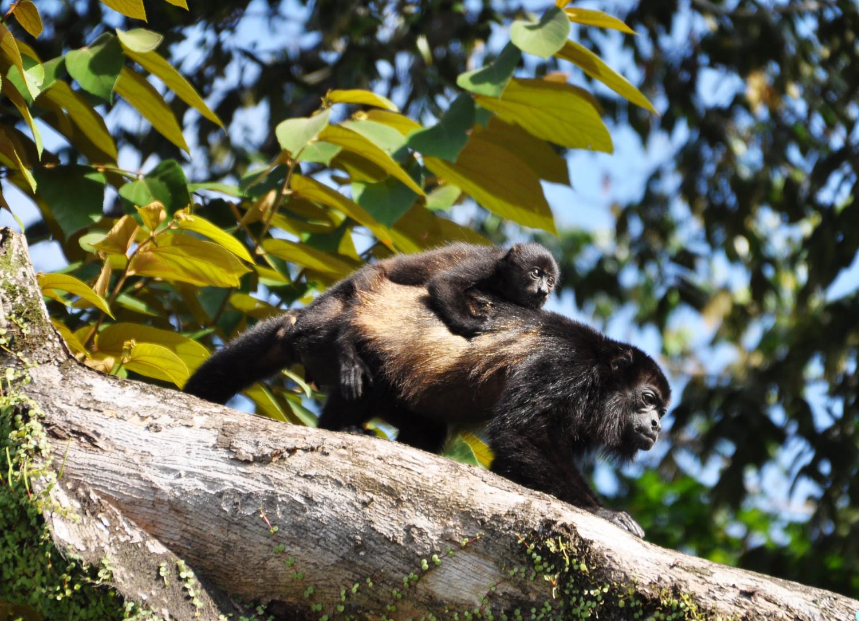 Über uns: neugierige Affenmama   Above us: inquisitive monkey and baby