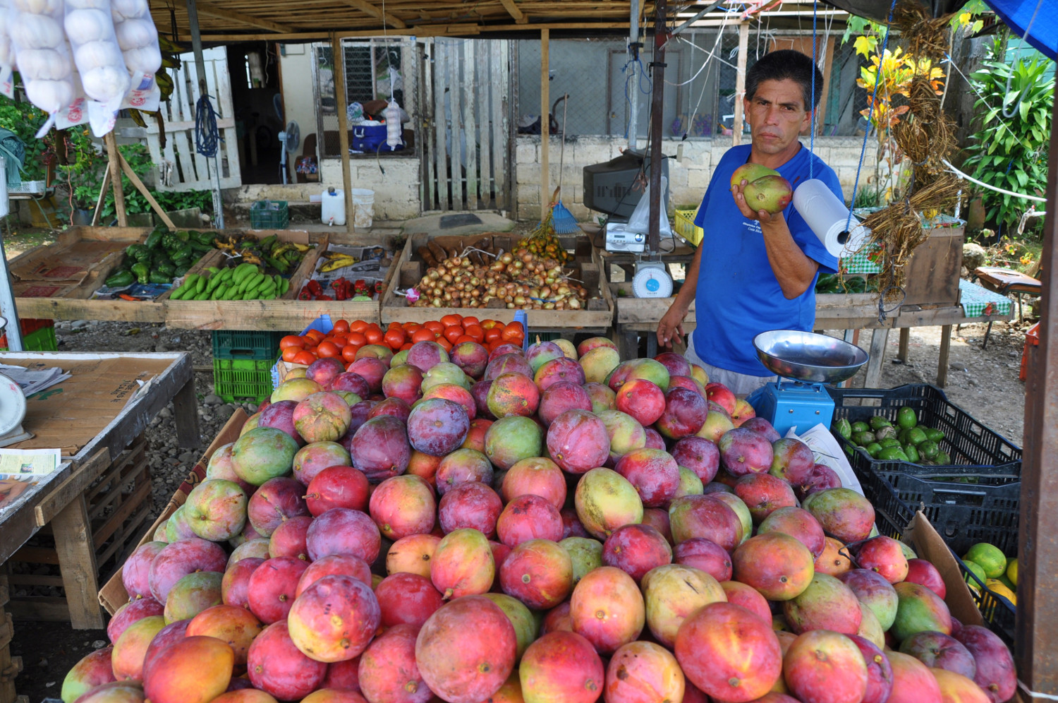 Mango-Vitamintankstelle am Straßenrand | Mangoes - top up on vitamins by the roadside