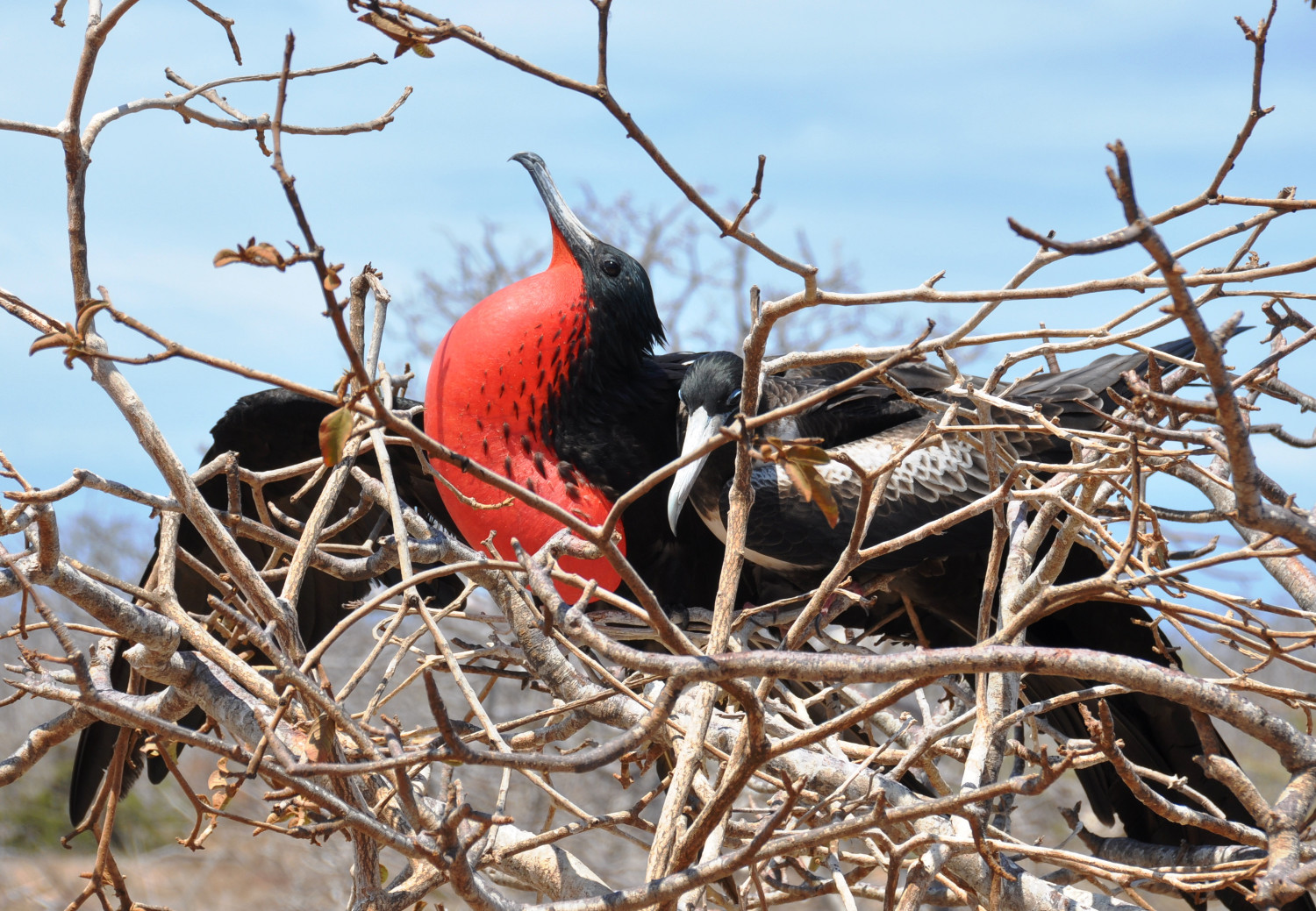 Nestbau: Ein Fregattvogel hat erfolgreich ein Weibchen angelockt | Nest building: a frigate bird has succeeded in attracting a mate