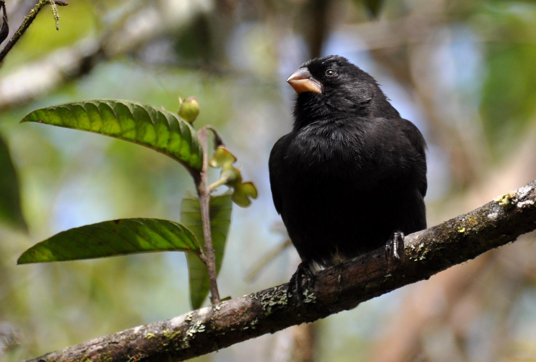 Darwinfink: Lehrbeispiel für die schnelle Anpassung | Darwin's finch: an object lesson in rapid evolution