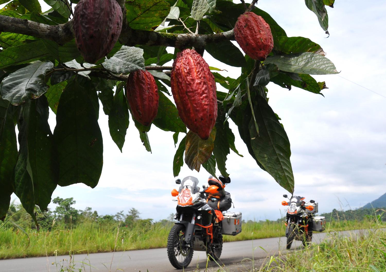 Kakao wächst am Straßenrand, Ecuador hat leckere Schokolade! |