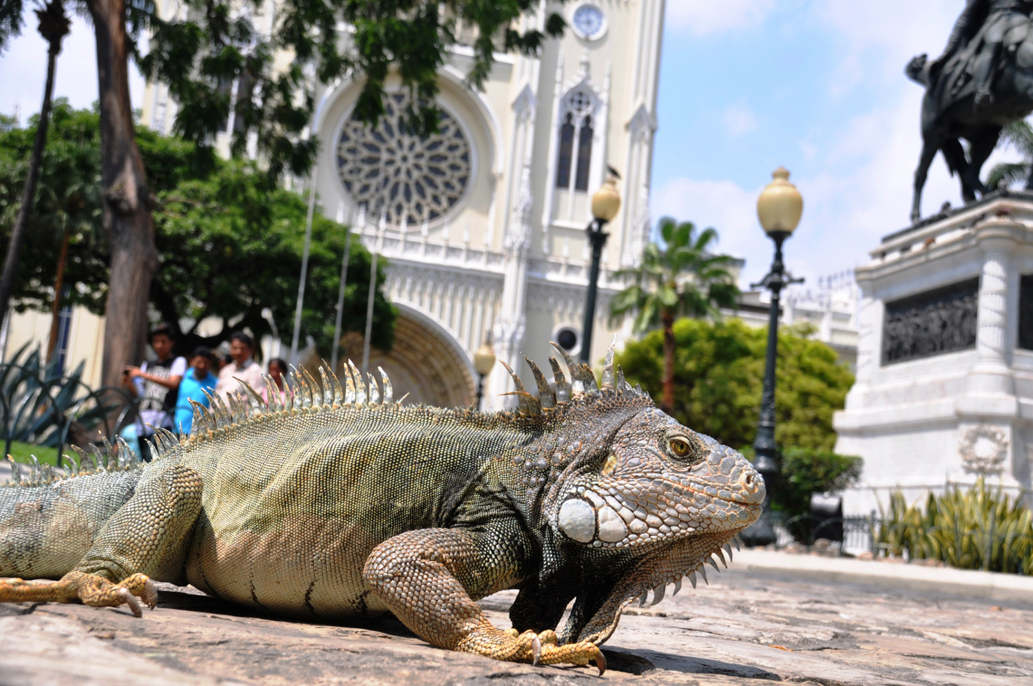 Parque Seminario: Mitten in der 3-Millionen-Stadt Guayaquil tummeln sich grüne Landleguane | Parque Seminario: in the heart of Guayaquil, a city of 3 million inhabitants, there are plenty of green land iguanas going about their business