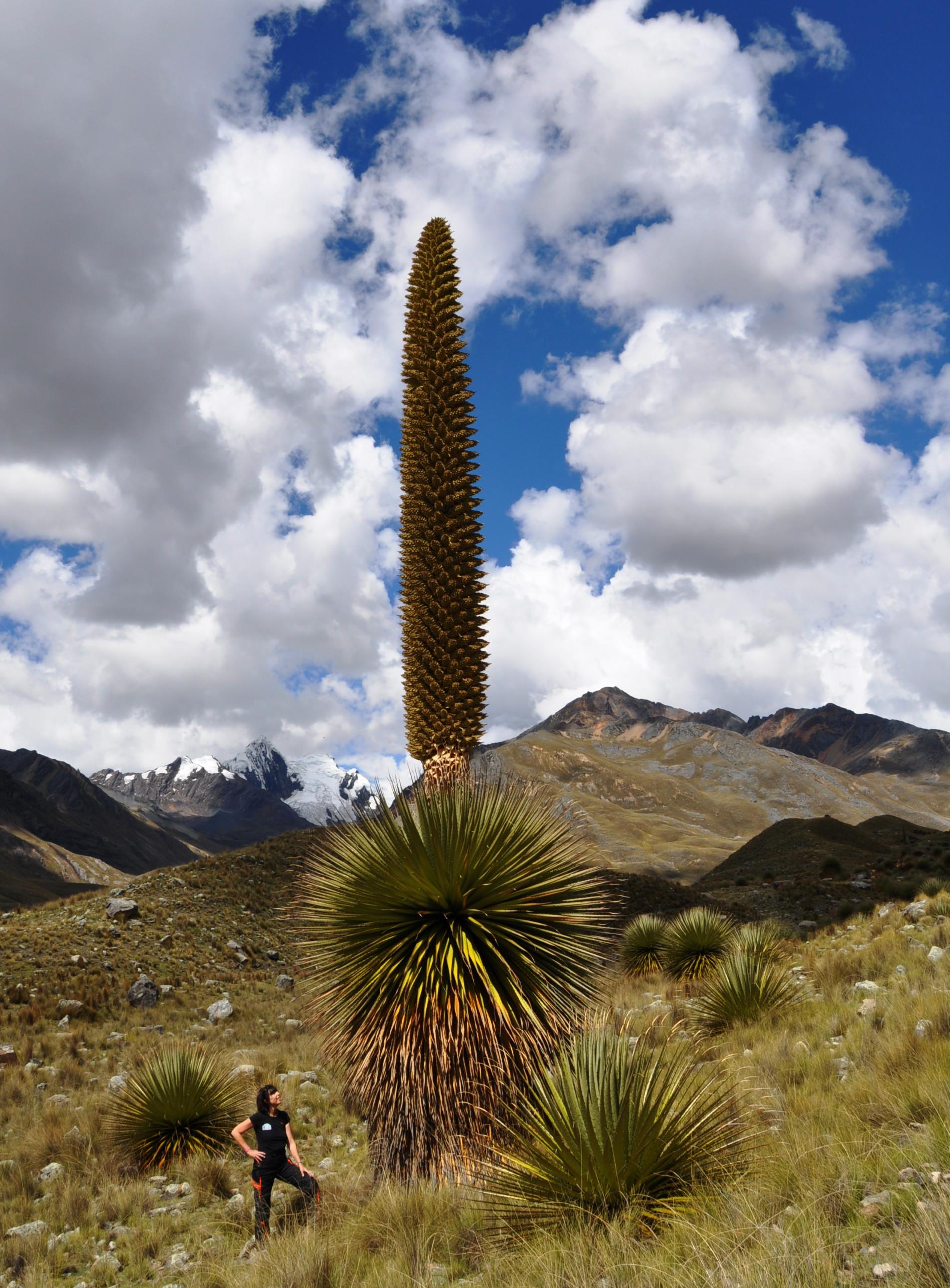 Puya Raimondii: Die größte Blume der Welt blüht nur einmal | Puya Raimondii: the largest flower in the world blooms only once
