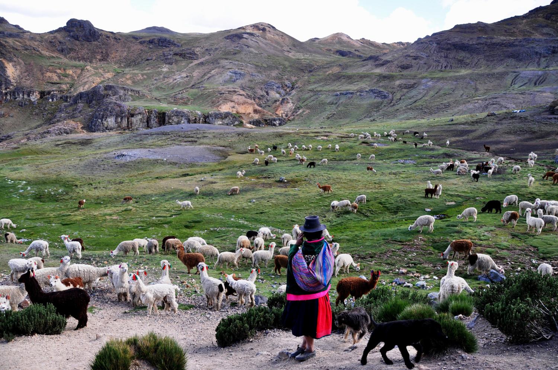 Hochland: Lamaherde auf der Weide   Highlands: a herd of llamas in a pasture