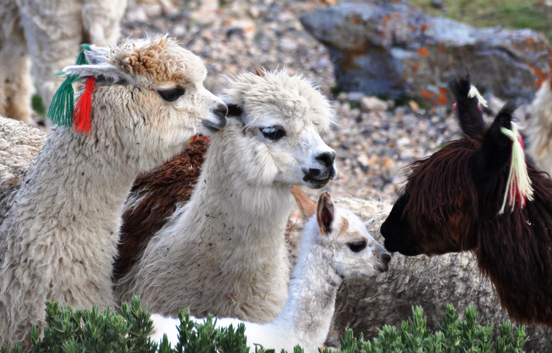 Auf das Neugeborene wird gut aufgepasst | The herd takes good care of a newborn