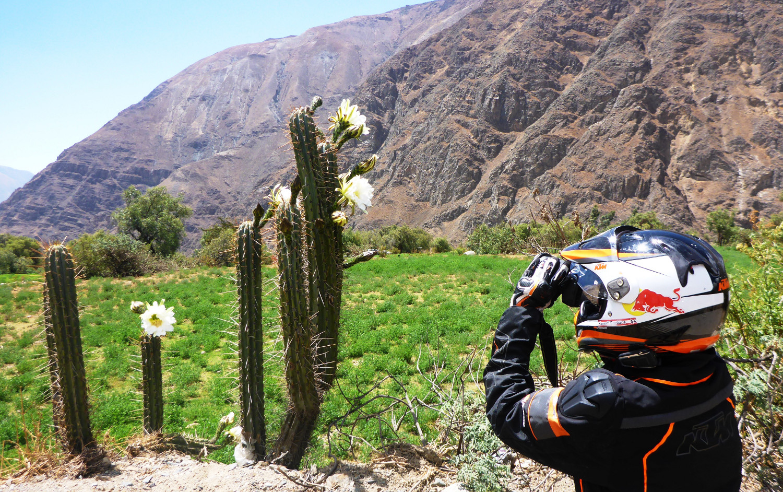 Regenzeit heißt Kaktusblüte   The rainy season brings cactus flowers