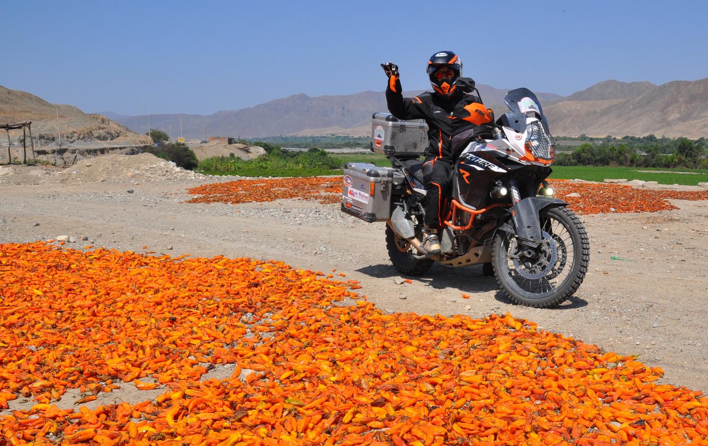 Oranger Paprika trocknet in der Sonne   Orange Paprika drying in the sun