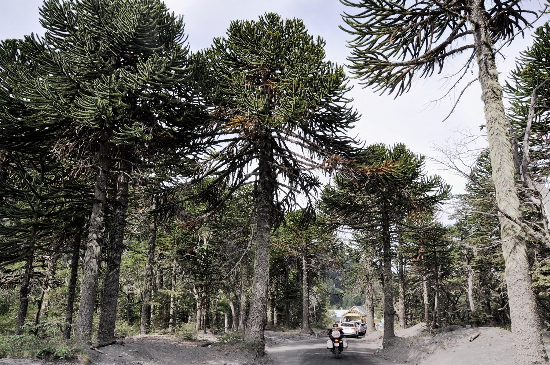 Zwischen Araukarienbäumen: Grenzübergang Chile/Argentinien | Between monkey puzzle trees: Chile/Argentina border crossing