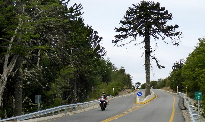 Araukarienbaum mitten auf der Straße | Monkey puzzle tree in the middle of the road