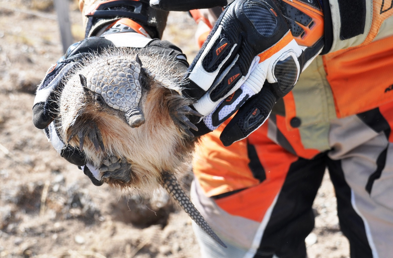 Neugieriges Gürteltier | Inquisitive armadillo