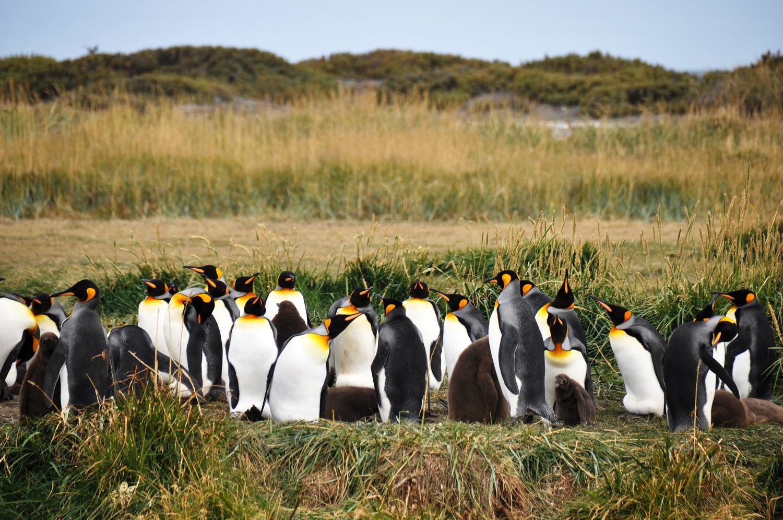 Wunderschön: die nördlichste Königspinguinkolonie | Magnificent: the most northerly King Penguin colony