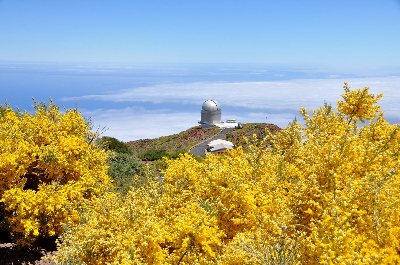 Ginsterblüte: duftender Blick vom Roque de los Muchachos   Broom blossom: a fragrant view from Roque de los Muchachos