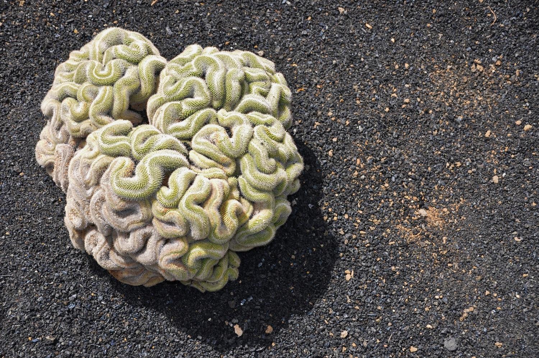 Kaktus-Hirn | Cactus brain